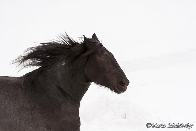 C2013-01-13-0012 - Noriker im Winter 2013