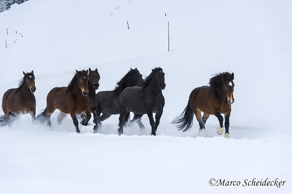 C2013-01-13-0045-2 - Noriker im Winter 2013