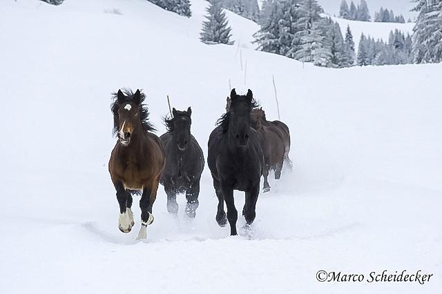 C2013-01-13-0131 - Noriker im Winter 2013