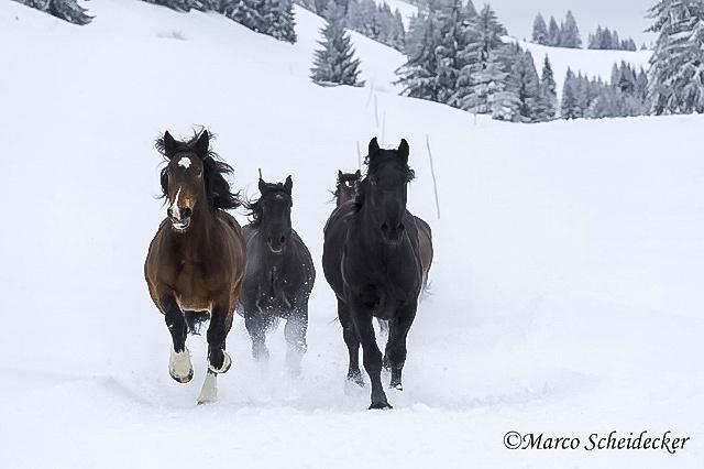 C2013-01-13-0135 - Noriker im Winter 2013
