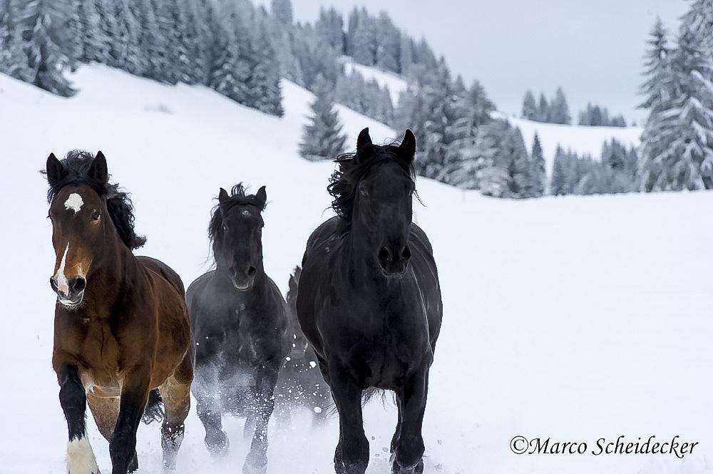 C2013-01-13-0139-2 - Noriker im Winter 2013