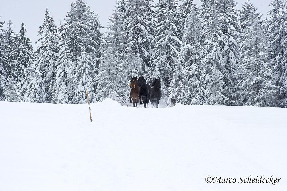 C2013-01-13-0154-2 - Noriker im Winter 2013