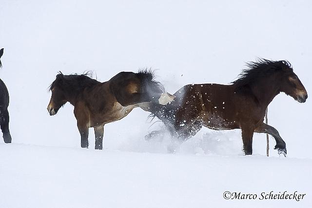 C2013-01-13-0230 - Noriker im Winter 2013