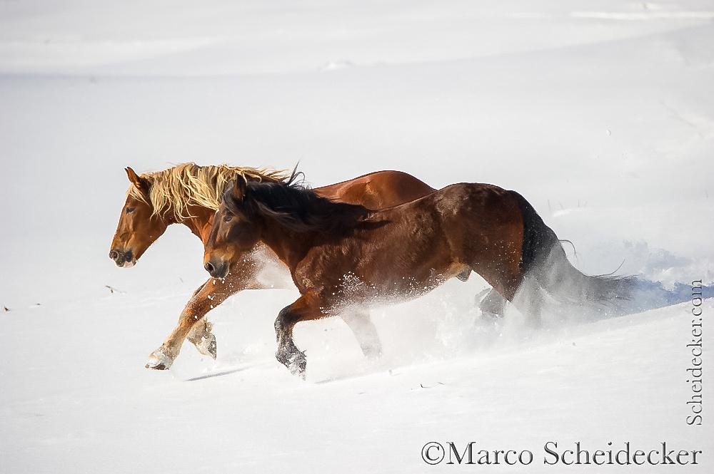 C2016-01-06-0257 - Noriker im Schnee