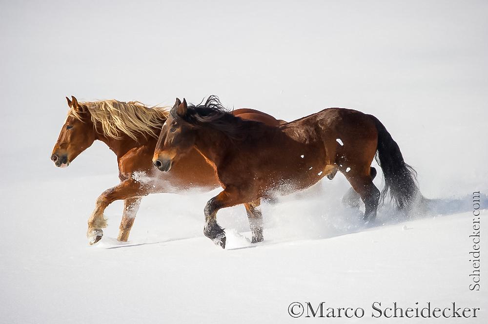 C2016-01-06-0261 - Noriker im Schnee