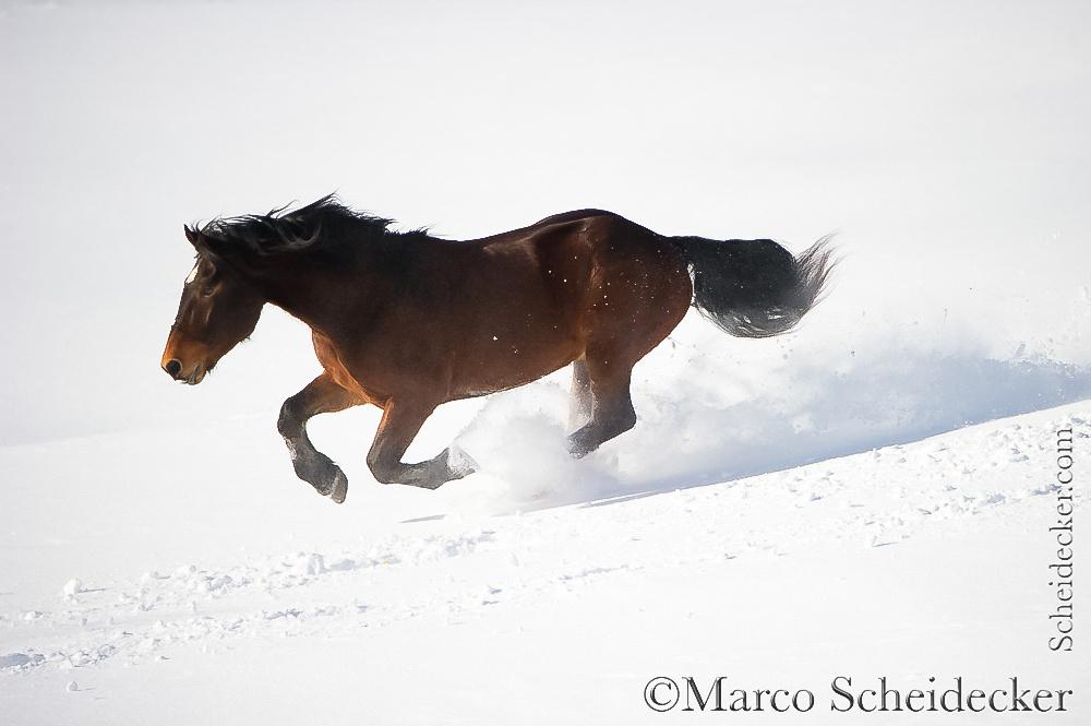 C2016-01-06-0264 - Noriker im Schnee