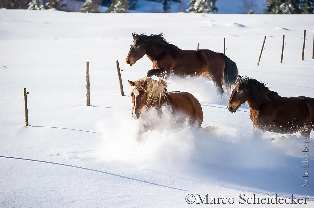 C2016-01-06-0279 - Noriker im Schnee