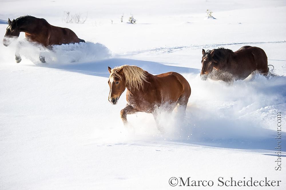 C2016-01-06-0292 - Noriker im Schnee
