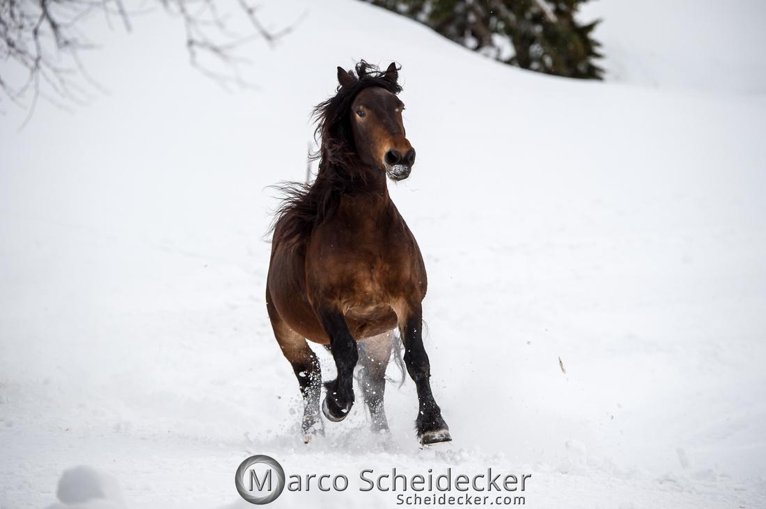 C2019-01-27-0054  -  Noriker im Schnee