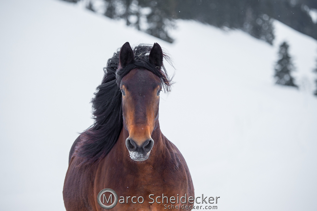 C2019-01-27-0066  -  Noriker im Schnee