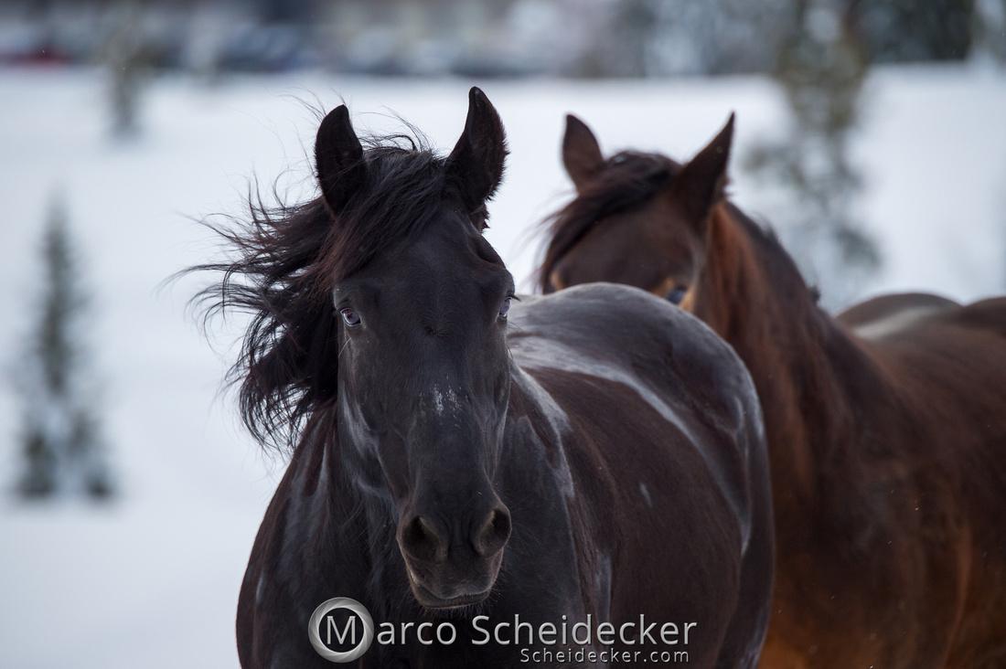 C2019-01-27-0254  -  Noriker im Schnee