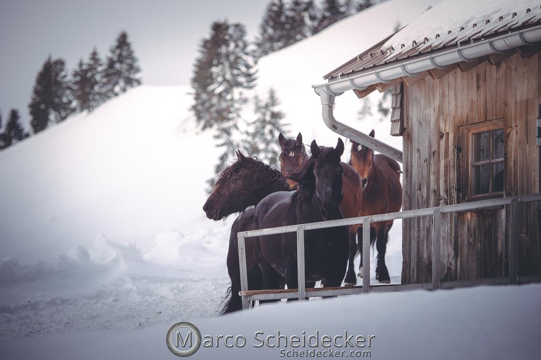 C2019-01-27-0262  -  Noriker im Schnee