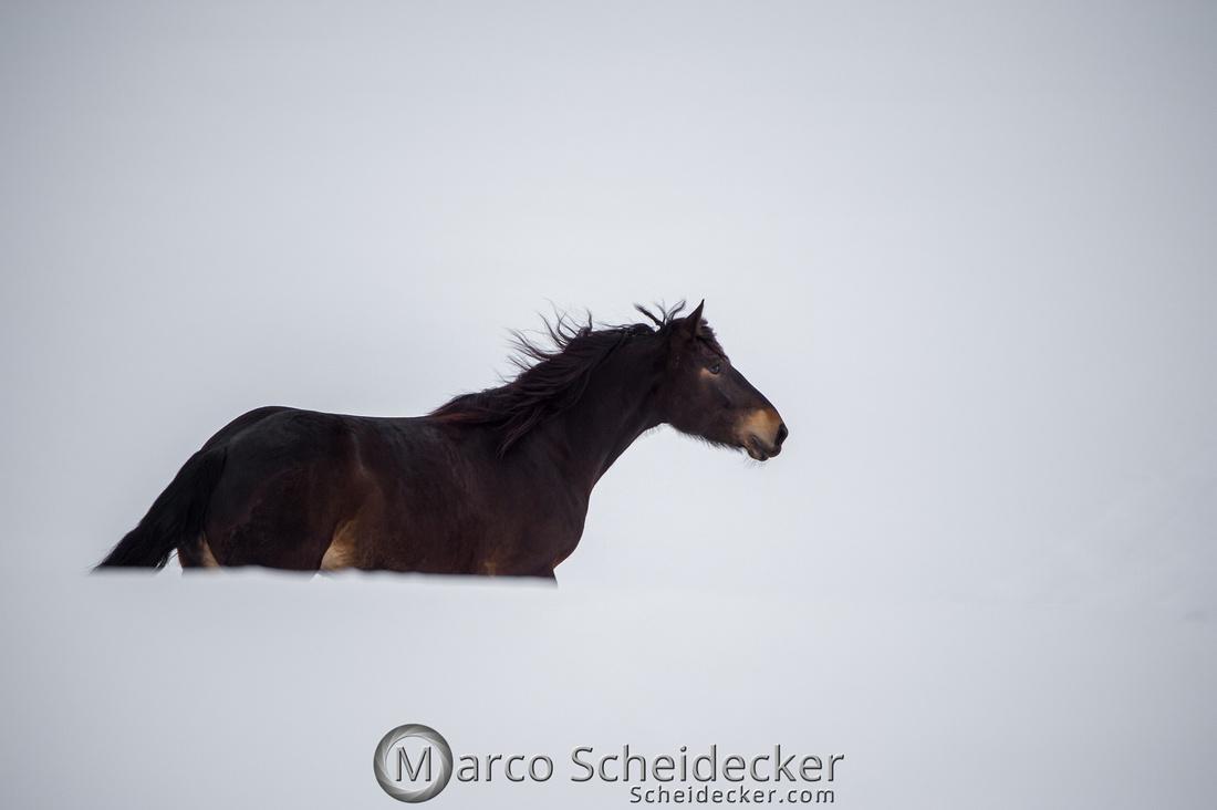 C2019-01-27-0316  -  Noriker im Schnee