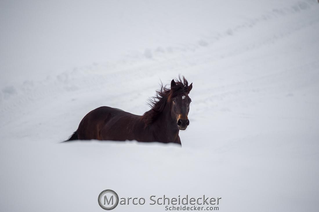 C2019-01-27-0322  -  Noriker im Schnee
