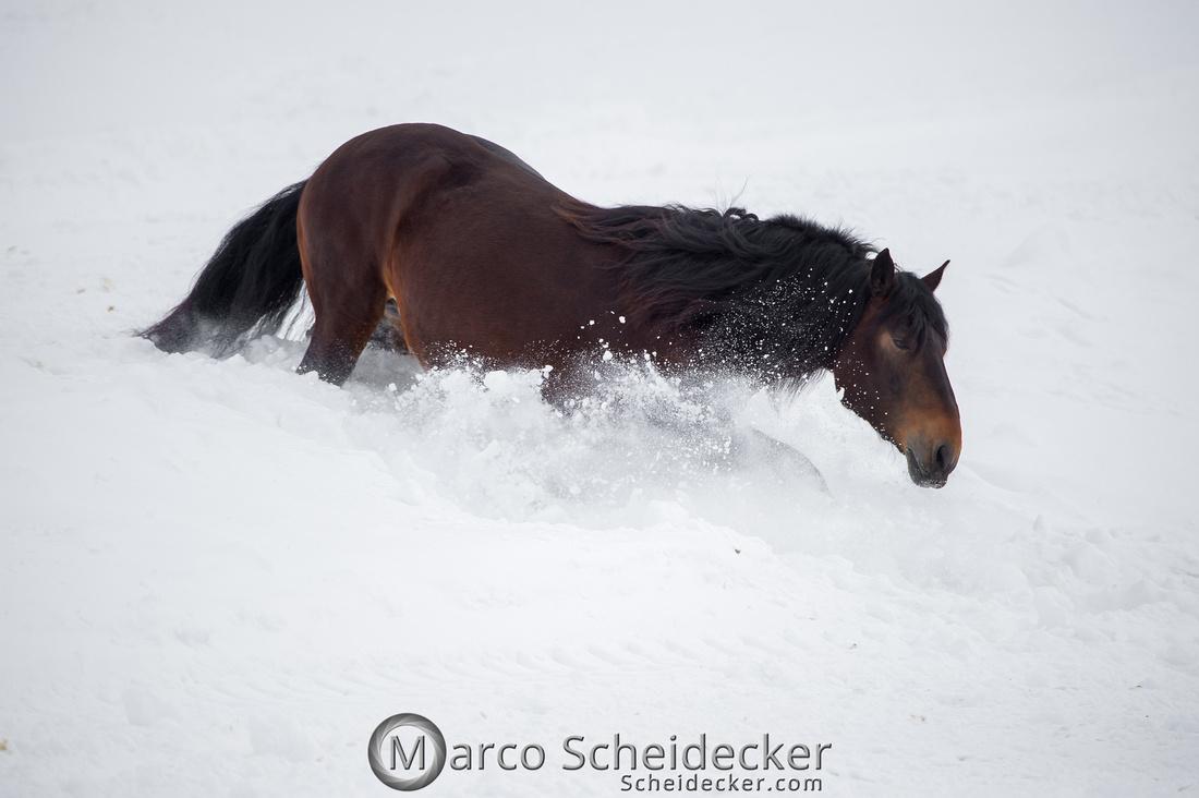 C2019-01-27-0343  -  Noriker im Schnee