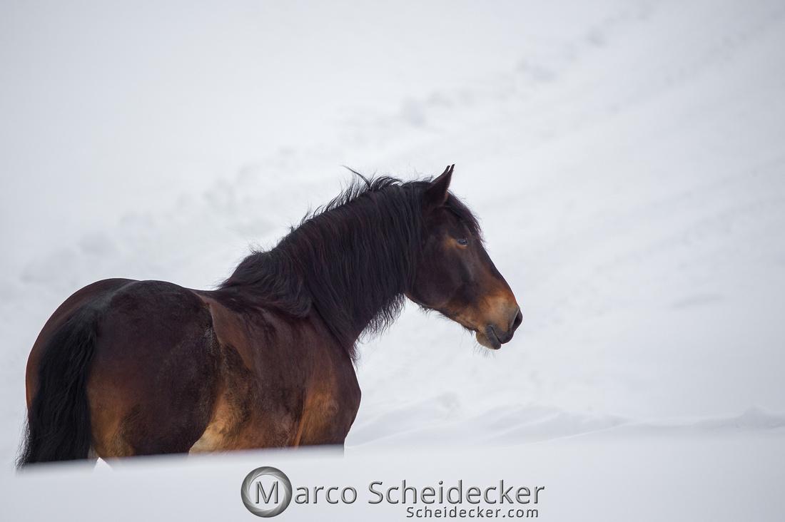 C2019-01-27-0350  -  Noriker im Schnee