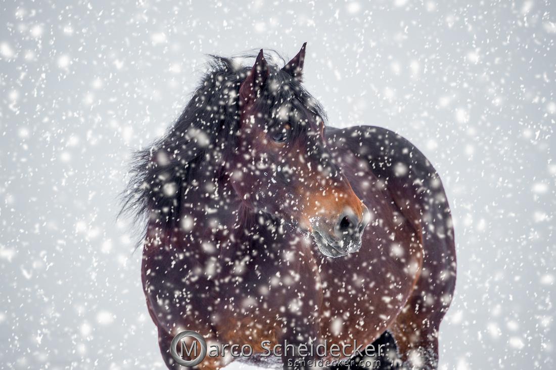 C2019-01-27-0360  -  Noriker im Schnee