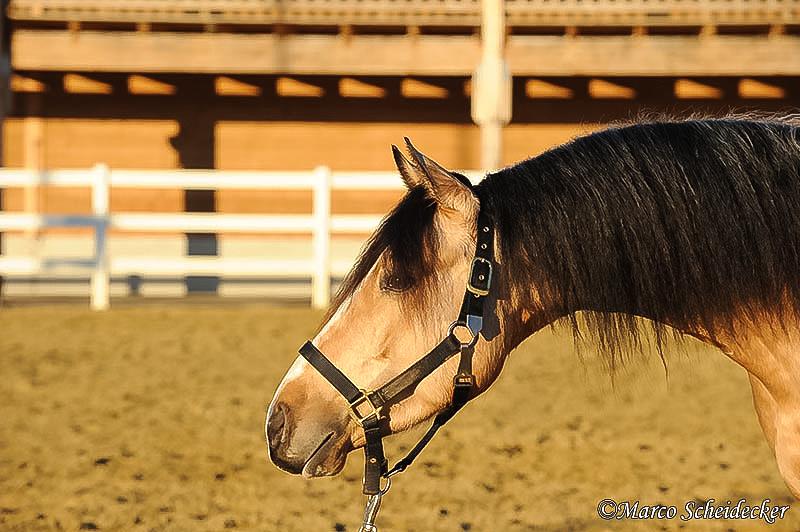 C2011-01-16-0161 - Quarterhengst Buck