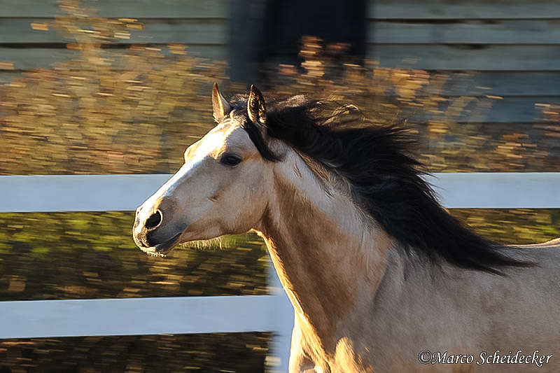 C2011-01-16-0698 - Quarterhengst Buck