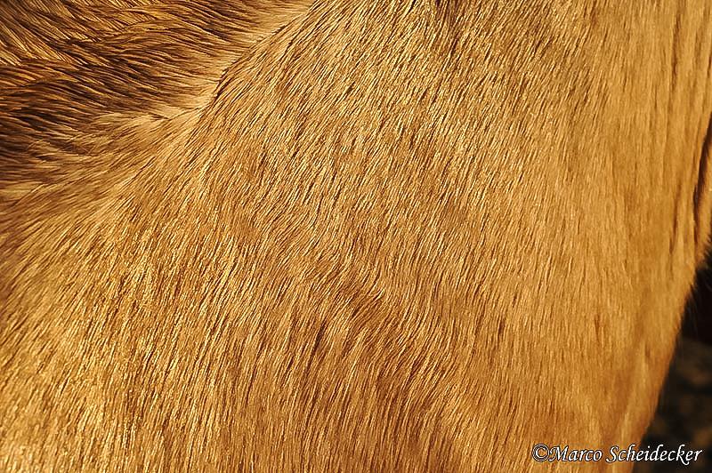 C2011-01-16-1272 - Quarterhengst Buck