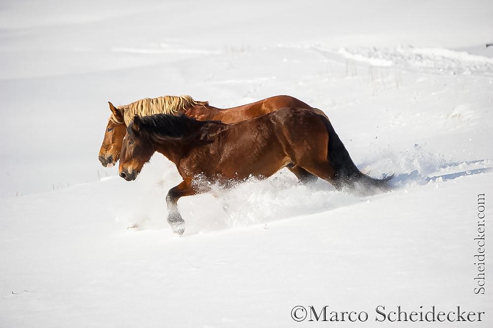 C2016-01-06-0252 - Noriker im Schnee