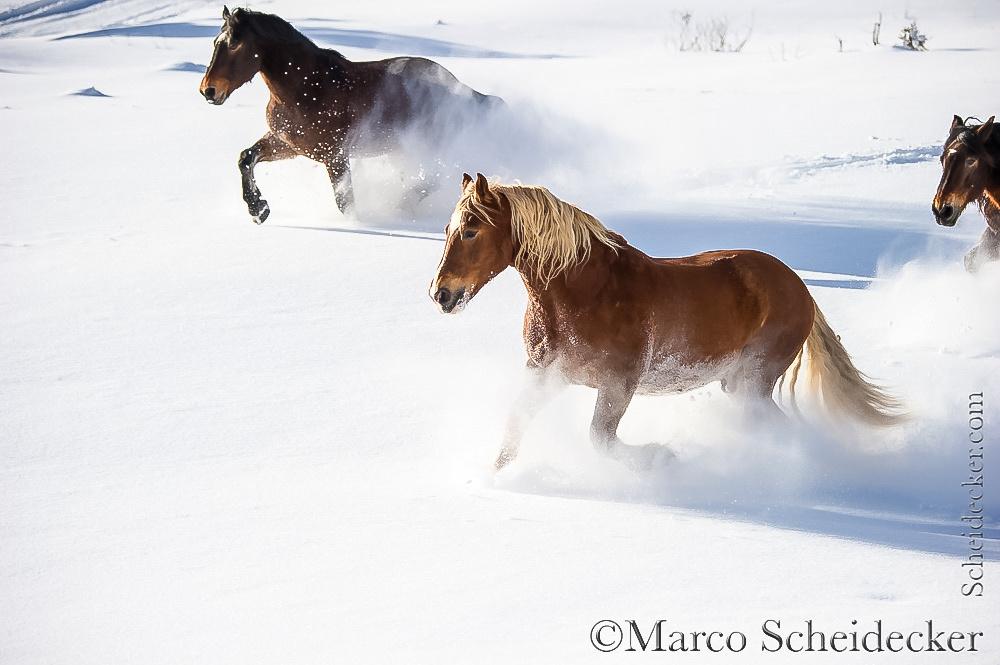 C2016-01-06-0297 - Noriker im Schnee
