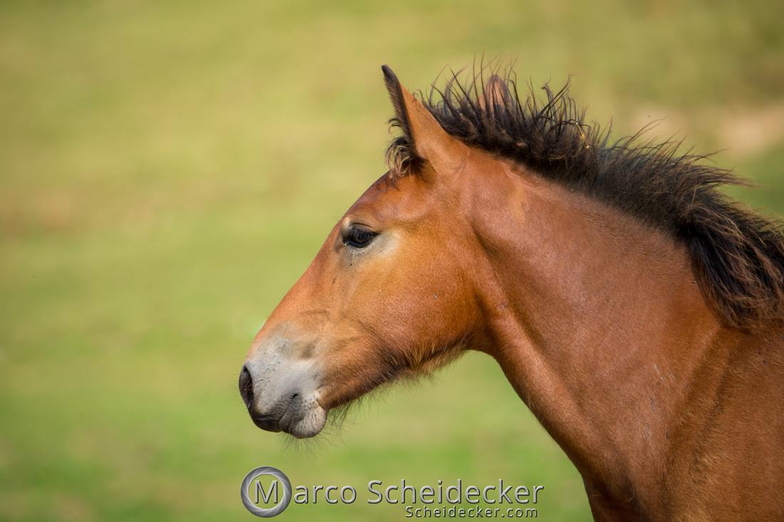 C2018-07-20-5000 - Noriker auf der Alp