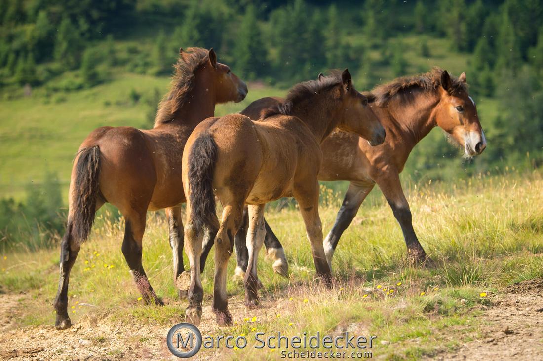 C2018-07-20-5025 - Noriker auf der Alp
