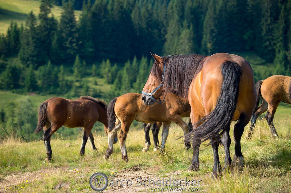 C2018-07-20-5030 - Noriker auf der Alp