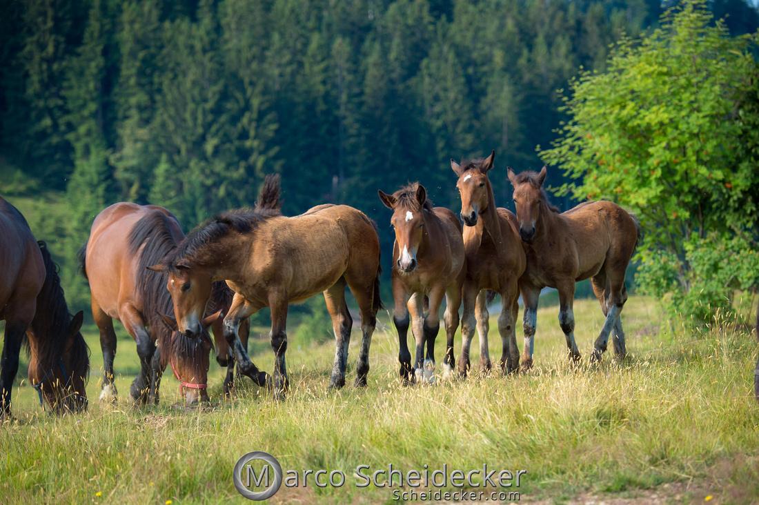 C2018-07-20-5043 - Noriker auf der Alp