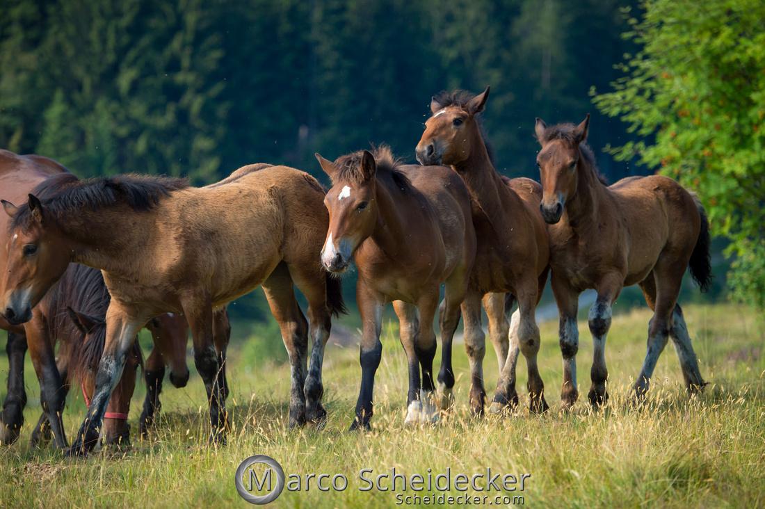 C2018-07-20-5045 - Noriker auf der Alp