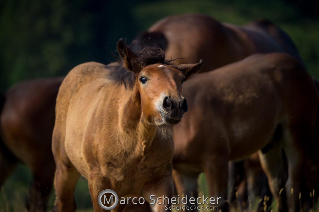 C2018-07-20-5060 - Noriker auf der Alp