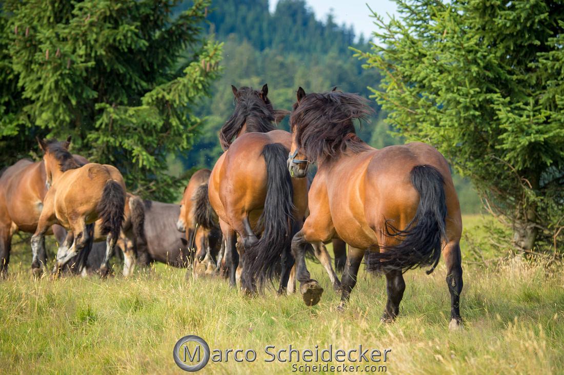 C2018-07-20-5121 - Noriker auf der Alp