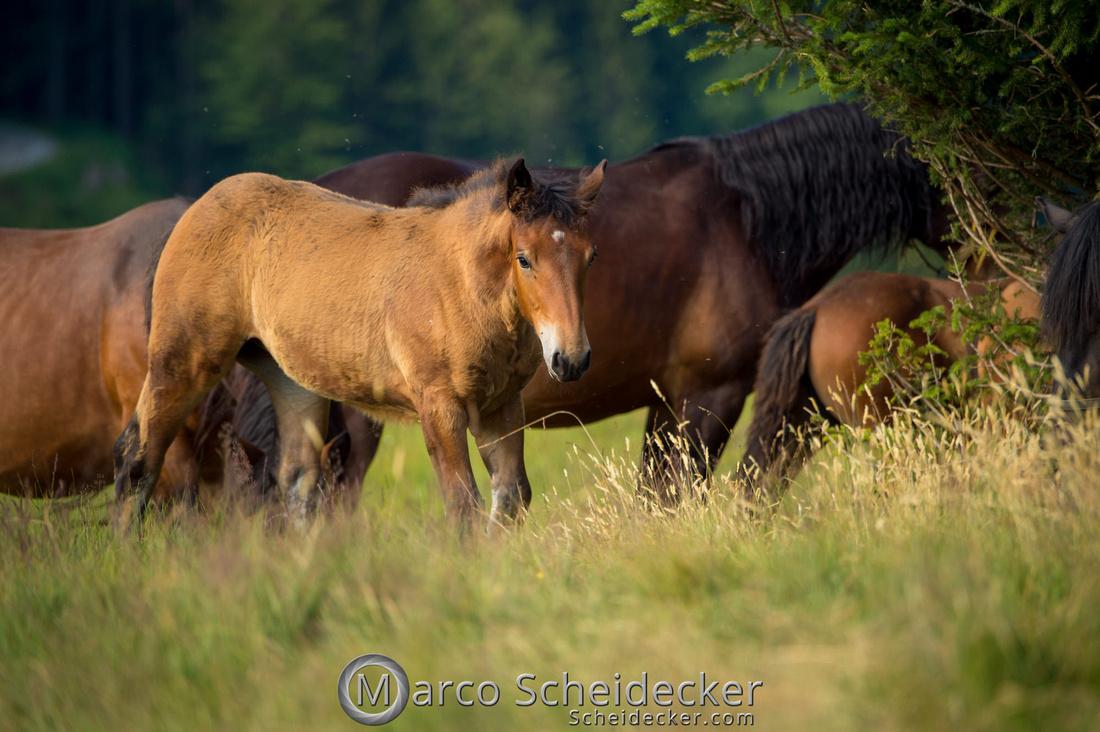 C2018-07-20-5130 - Noriker auf der Alp