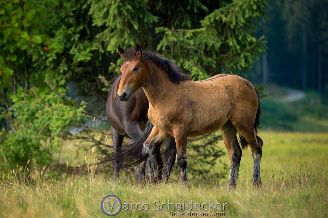 C2018-07-20-5142 - Noriker auf der Alp