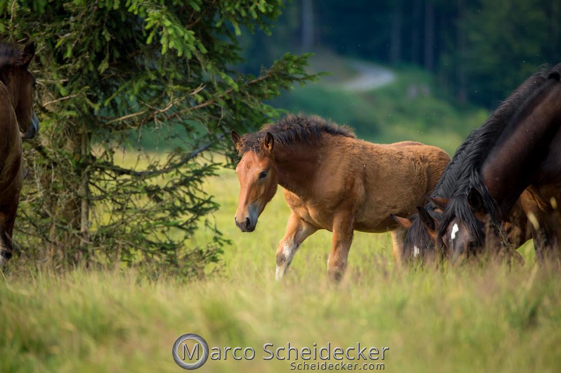 C2018-07-20-5144 - Noriker auf der Alp
