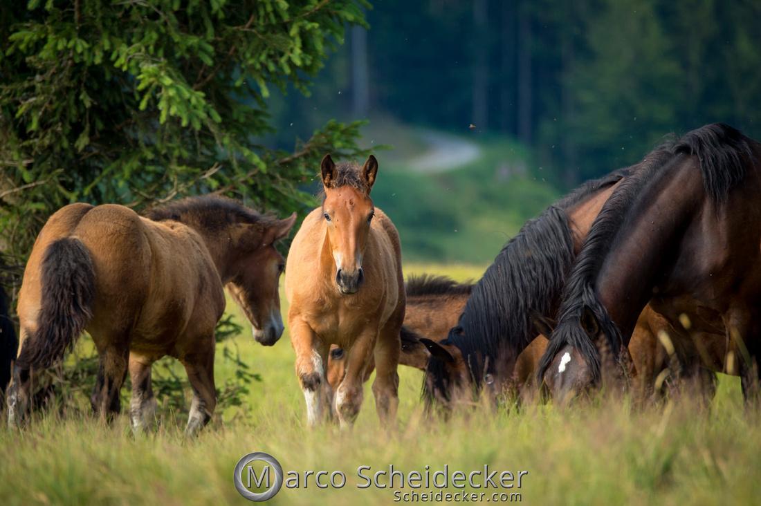 C2018-07-20-5146 - Noriker auf der Alp