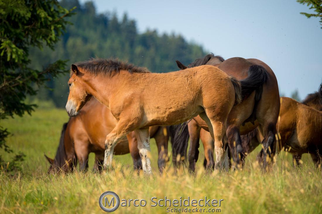 C2018-07-20-5198 - Noriker auf der Alp