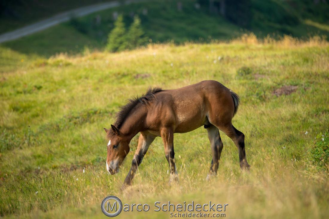 C2018-07-20-5234 - Noriker auf der Alp