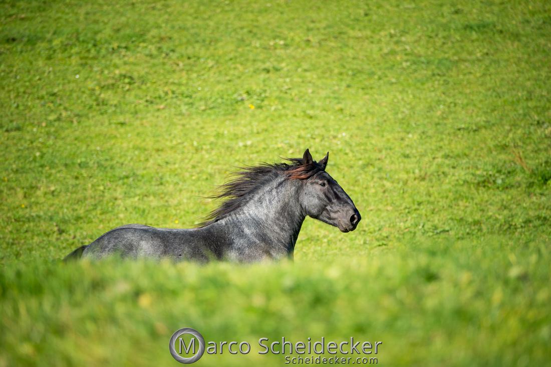 C2018-10-14-0015  -  Norikerhengst Francesco Elmar