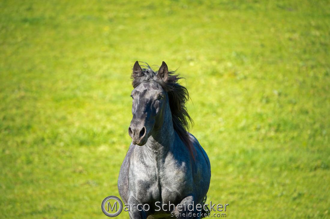 C2018-10-14-0052  -  Norikerhengst Francesco Elmar