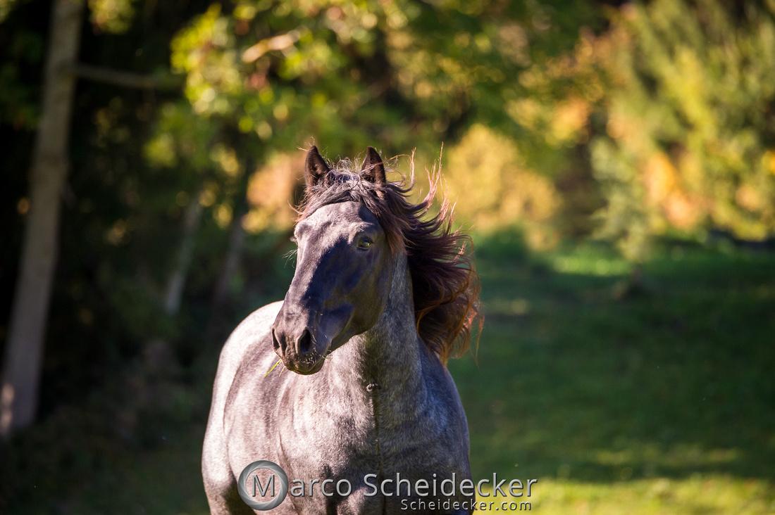 C2018-10-14-0131  -  Norikerhengst Francesco Elmar