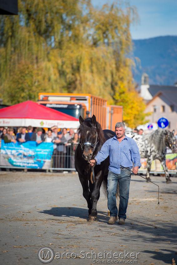 C2018-10-26-2021  -  Norikerhengst Franko Elmar XIV