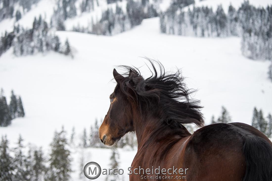 C2019-01-27-0029  -  Noriker im Schnee