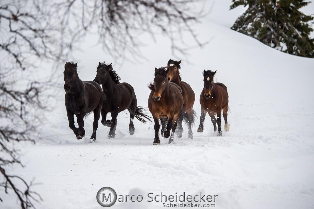 C2019-01-27-0034  -  Noriker im Schnee