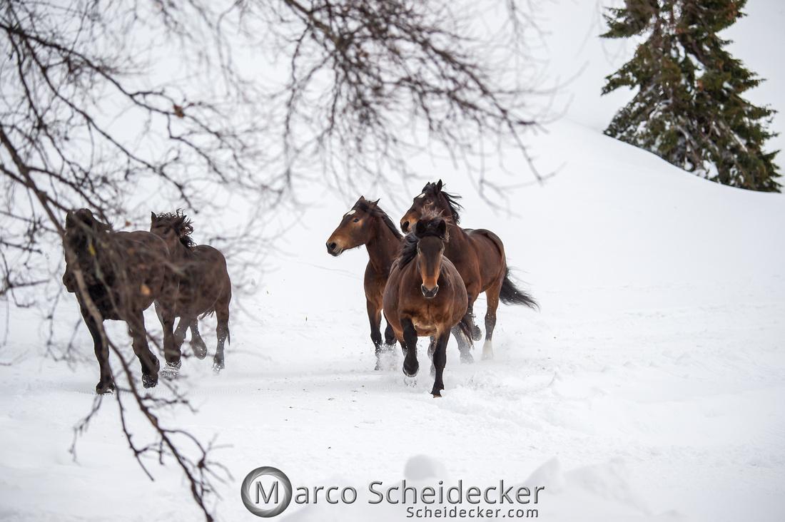 C2019-01-27-0042  -  Noriker im Schnee