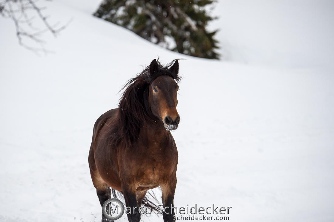 C2019-01-27-0058  -  Noriker im Schnee