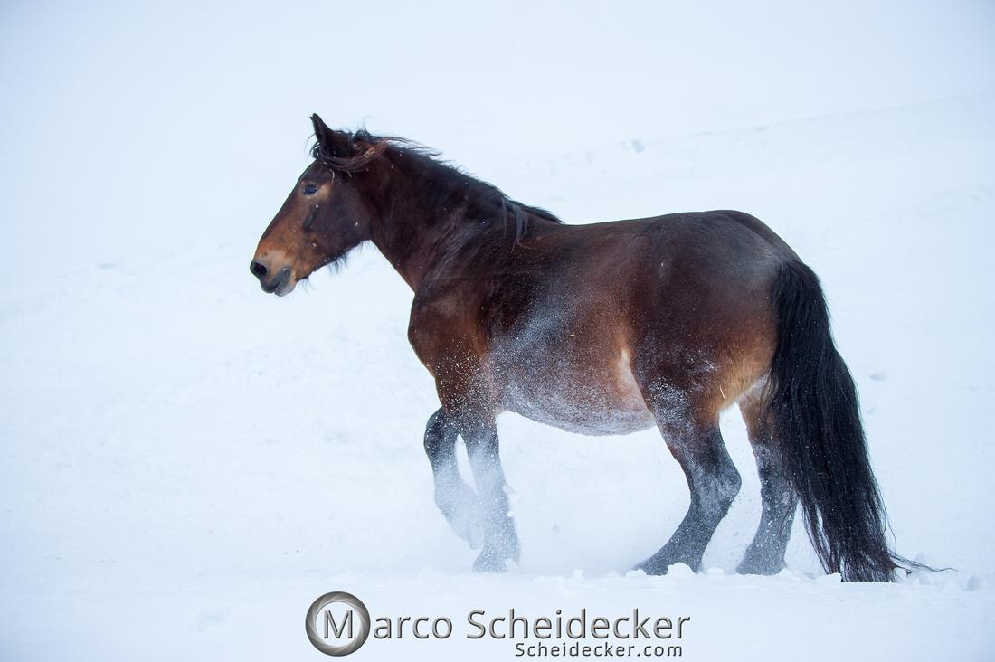 C2019-01-27-0082  -  Noriker im Schnee