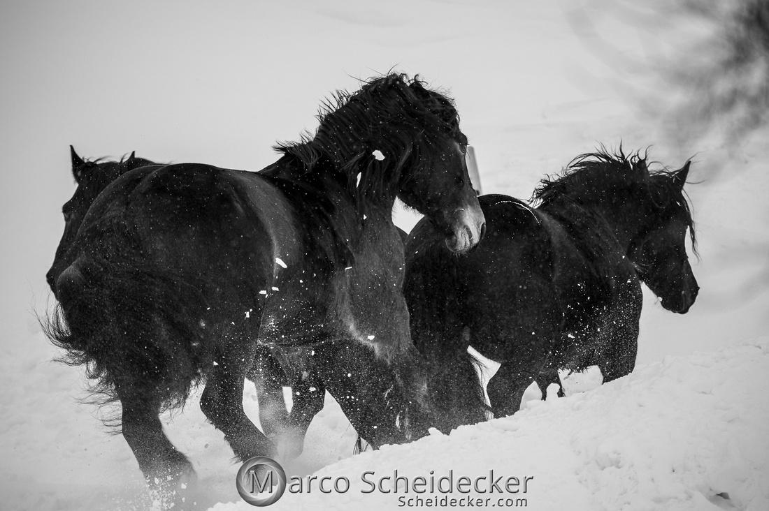 C2019-01-27-0100  -  Noriker im Schnee