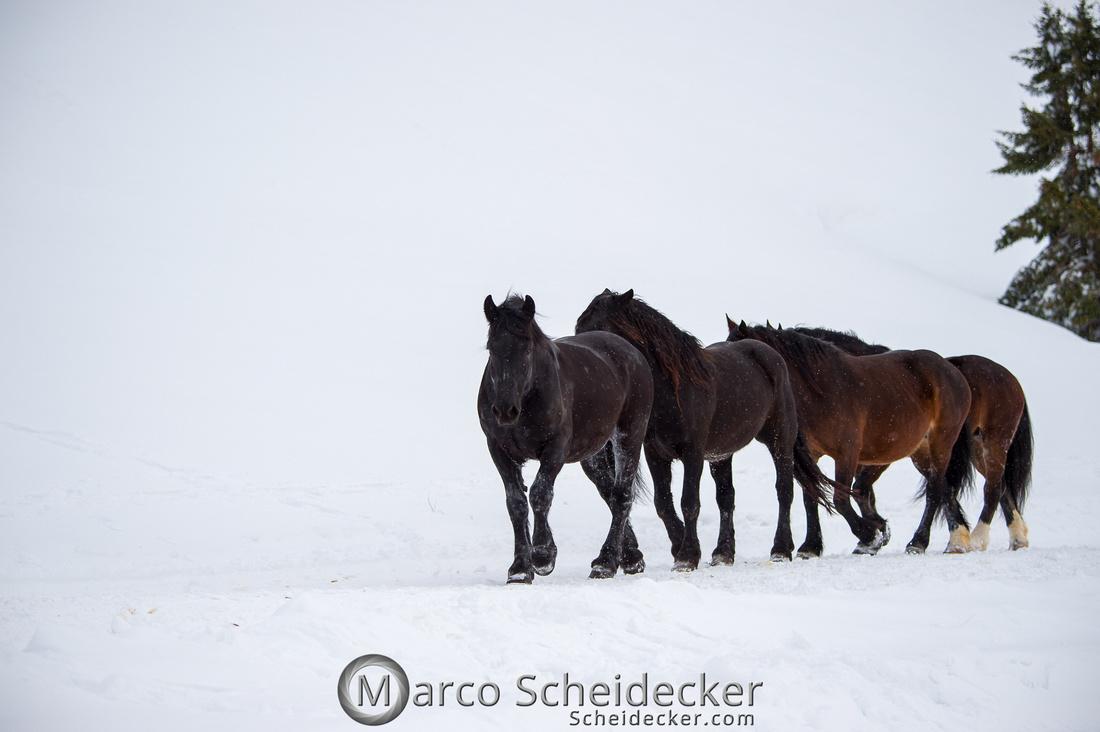 C2019-01-27-0180  -  Noriker im Schnee